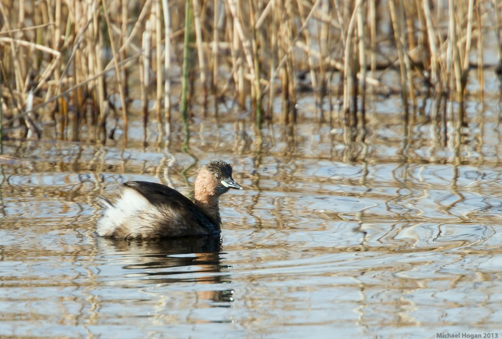 Little Gebe/Dabchick