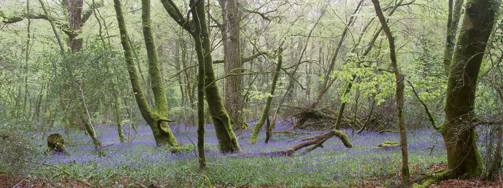 Bluebells-Panorama.jpg